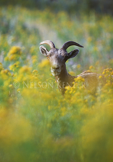 Bighorn Sheep ewe in goldenrod and tansy in Montana