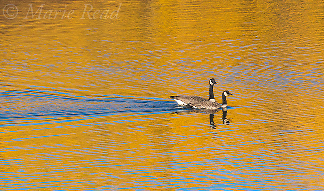 Canada Geese swimming through reflection of aspens in autumn, Snake River, Grand Teton National Park, Wyoming, USA