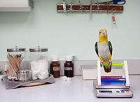 """Sam,"" an orange-headed Caique parrot belonging to Jonda Vance, perches on a scale in the exam room at the Avian Health Clinic on Oct. 27, 2012. In addition to regular check-ups and treatment, Mohan's clinic offers boarding services, microchipping and surgical procedures. The avian veterinarian also conducts house calls and offers hours by appointment."