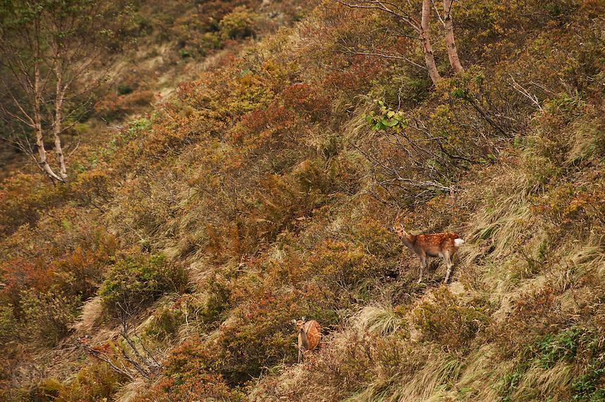 Autumn mountainside with shika deer, Hachibuseyama, Nagano, Japan.