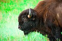 American Bison (buffalo), Custer State Park, Black Hills, South Dakota USA