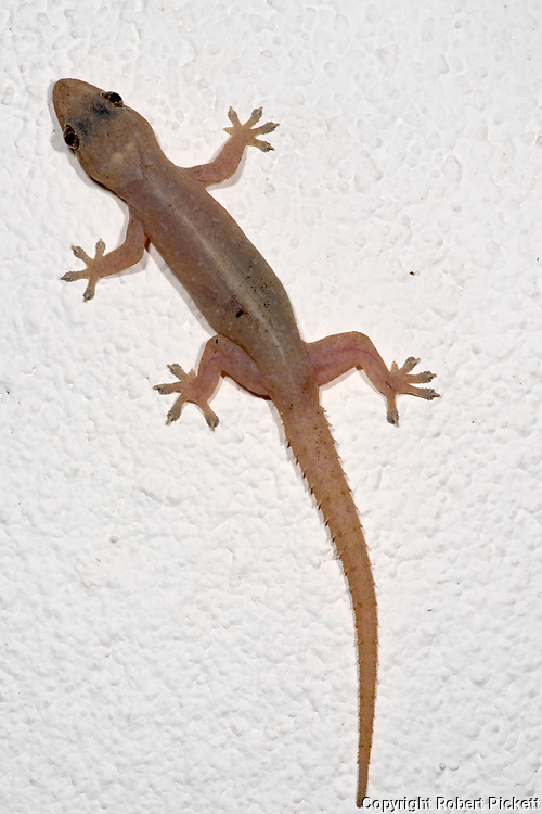 Asian House Gecko, Hemidactylus frenatus, on wall, Sri Lanka