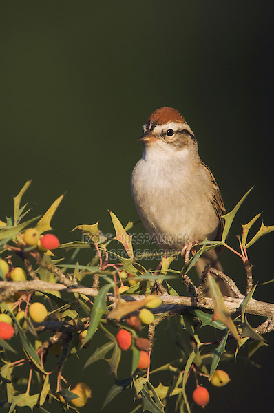 Chipping Sparrow, Spizella passerina, adult on Agarita (Berberis trifoliolata), Uvalde County, Hill Country, Texas, USA
