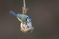 Blaumeise, selbstgemachtes Vogelfutter in einem Körbchen aus Weidenzweigen, Weidenkörbchen, Vogelfütterung, Fütterung, Fettfuttermischung, Fettfutter, Meisenknödel, Blau-Meise, Meise, Meisen, Cyanistes caeruleus, Parus caeruleus, blue tit, bird's feeding, La Mésange bleue.