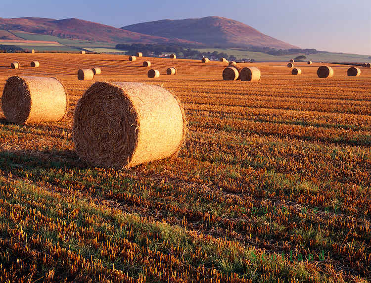 Harvest round straw bales catching the summer morning sunshine on the Solway Firth coast with Criffel behind near Dumfries Scotland UK