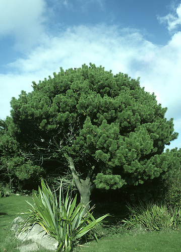 Mountain Pine Pinus mugo (Pinaceae) HEIGHT to 30m <br /> Two forms: tree-sized ssp. uncinata and shrub-like ssp. mugo. BARK Greyish-black in all trees. LEAVES Bright-green needles in all trees, to 8cm long, curved and stiff, appearing whorled. REPRODUCTIVE PARTS All trees have male flowers in clusters near shoot tips; female flowers reddish, in groups of 1&ndash;3. Ripe cones ovoid, pale brown, to 5cm long; scales have a small prickle. STATUS AND DISTRIBUTION Native of Alps, Pyrenees and Balkans; dwarf forms occur at high altitudes.
