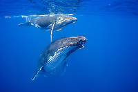 humpback whale, Megaptera novaeangliae, mother and calf, Vava'u, Tonga, Pacific Ocean
