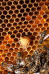 Honey Bees on a frame ,  in a beehive.  .Note Queen cup  in centre.Monkton Wylde, Dorset.