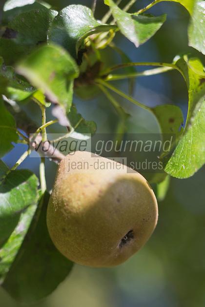 Europe/France/Normandie/Basse-Normandie/50/Batenton: Maison de la Pomme et de la Poire - détail poire du Verger Conservatoire de Barenton  // France, Manche, Batenton, House of the Apple and Pear, in the orchard, detail pear