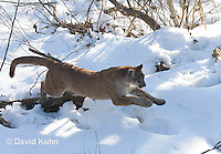 0218-1017  Mountain Lion (Cougar) in Snow Jumping and Chasing Prey, Puma concolor (syn. Felis concolor)  © David Kuhn/Dwight Kuhn Photography.