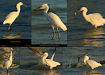 Snowy Egret Fish Story Losing Prey at Sunrise Sanibel Island Florida Composite Image