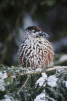 Spotted Nutcracker (Nucifraga caryocatactes), adult perched on Norway spruce ruffled by minus 15 Celsius, Davos, Switzerland, Europe