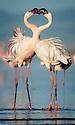 TANZANIA. Lake Natron flamingos