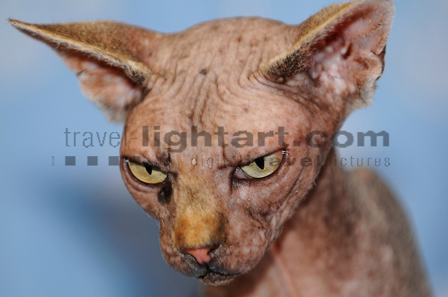 ©Paul Trummer, Mauren / FL, www.travel-lightart.com, www.digital-photos.eu, animal, animalia, animals, cat, catkins, cats, domestic cat, domestic cats, felis catus, living being, mammal, mammals, pet cat, pet cats, predator, predators, vertebrate, vertebrates, warm blooded animals, warm blooded-animal, Fauna, Felis, Fissipedia, Hauskatze, Hauskatzen, Kater, Landraubtier, Landraubtiere, Lebewesen, Mammalia, Rassekatze, Säuger, Säugetier, Säugetiere, Tierbild, Tierbilder, Vertebrata, Warmblüter, Wirbeltier, Wirbeltiere, Haustier, Haustiere, Domestic Animals, Sphynx Cat, Sphynx Katze, Hairless Cat, Nacktkatze