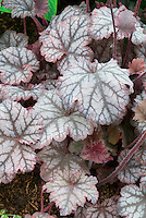 Heuchera Mars, foliage shade garden plant with silvery rose pink leaves and prominent veining in leaf
