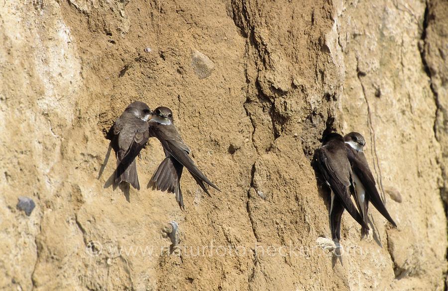 Uferschwalbe, an Bruthöhle in Steilwand, Ufer-Schwalbe, Riparia riparia, sand martin