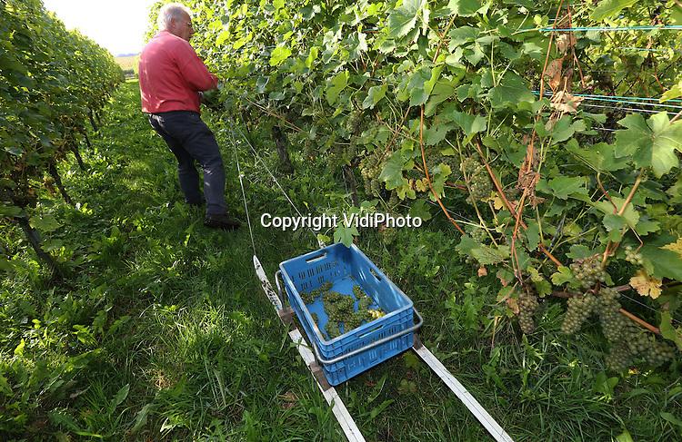 Foto: VidiPhoto<br /> <br /> GROESBEEK - De grootste wijnhoeve van Nederland, de Colonjes in Groesbeek, is woensdag begonnen met de wijnoogst. Deze maand, tot eind oktober, moeten de druiven van de 13 ha. aan wijngaarden geplukt worden door zo'n 80 vrijwilligers van wie er dagelijks zo'n 20 aanwezig zijn. De biologische wijnboer valt regelmatig in de prijzen wat betreft kwaliteit en smaak. Volgens eigenaar Freek Verhoeven is de verwachting dat er dit jaar zo'n 35.000 liter wijn kan worden gemaakt. Foto: Skie&euml;nd de wijngaard door, voor een nog snellere oogst.