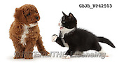 Kim, ANIMALS, REALISTISCHE TIERE, ANIMALES REALISTICOS, fondless, photos,+Black-and-white kitten, Solo, 7 weeks old, beckoning F1b toy Cavapoo puppy wrestling,++++,GBJBWP42503,#a#
