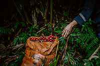 A worker carries the heavy work of harvesting black cardamom (Thao Qua). The picked fruits are kept in repurposed orange fertilizer bags which will be carried to a campsite for drying.