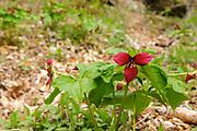 Red Trillium -Trillium erectum- at Rumney Rocks in Rumney, New Hampshire during the spring months.