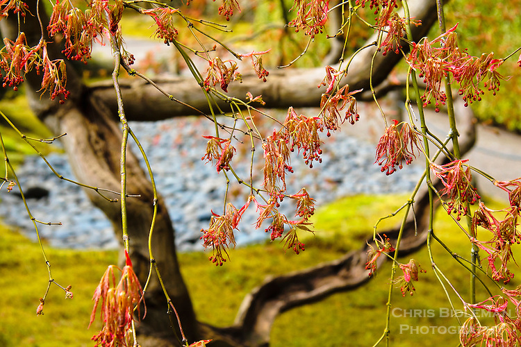 Japanese Maple leaf buds are starting to open in early Spring with rock garden and moss in the background of the Portland Japanese Garden