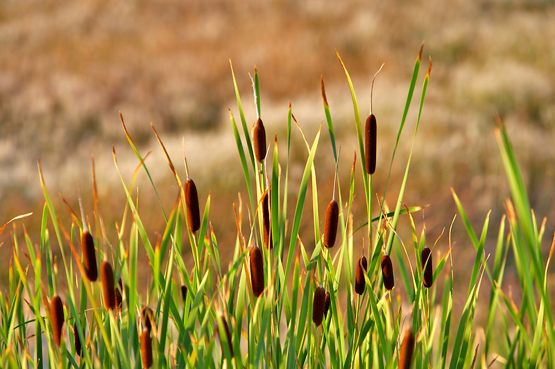 Cattails in pond.Black Rock Desert National Conservation Area. Nevada