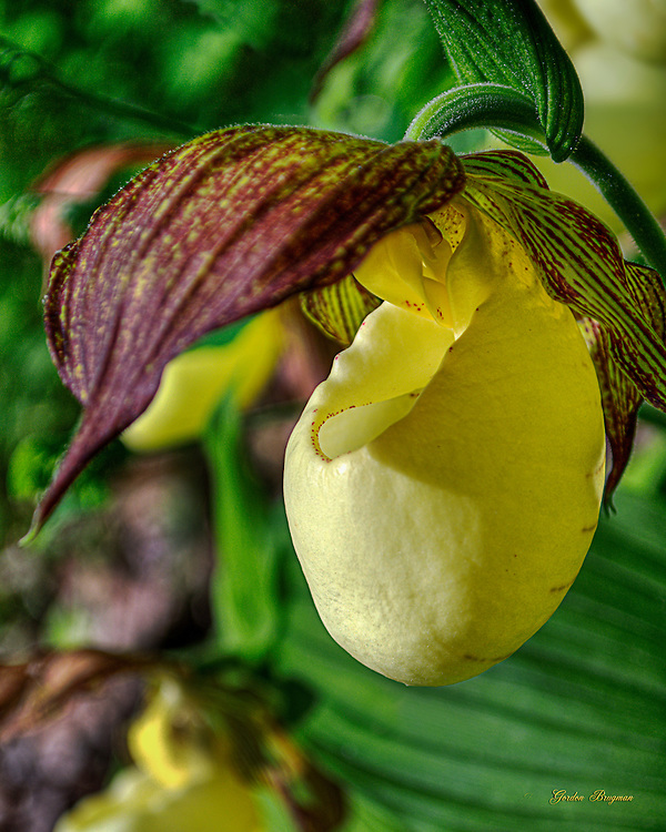 Lady Slipper bloom. Three-exposure HDR image.