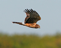 Flying adult female northern harrier