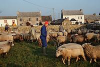 Europe/France/Bretagne/29/Finistère/Ile d'Ouessant: Fête des moutons, berger au rabattage des moutons