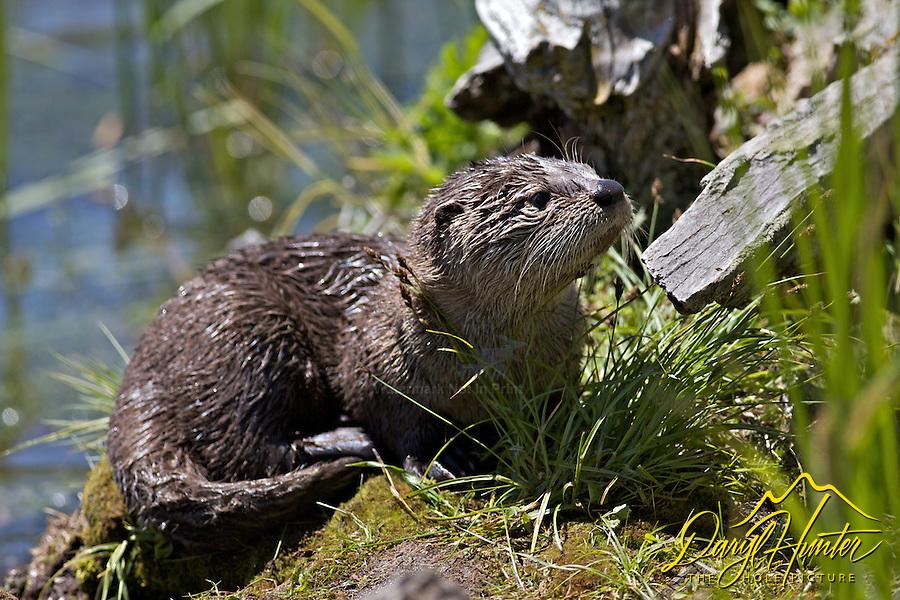 Otters, Trout Lake, Yellowstone National Park