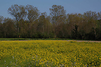 Campo di colza in fiore. Rapeseed fields in flower....