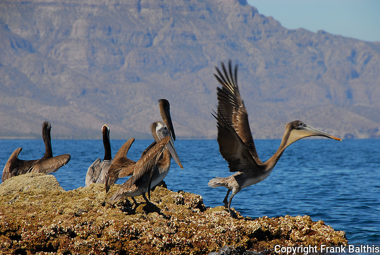 Brown pelicans at Agua Verde