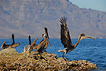 Brown pelicans at Agua Verde
