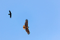 A Red-tailed hawk and its Blackbird wingman soar over the picnic areas and paths at an urban recreation area next to the Oakland International Airport.