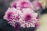 close up shot of three purple flowers in pastel tones