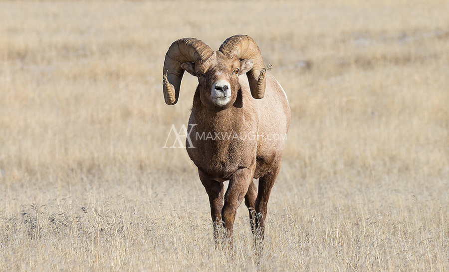 Winter is a good time to see bighorn rams at lower elevations in Yellowstone.