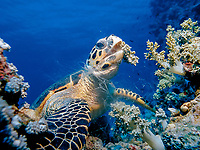 hawksbill sea turtle feeds on soft coral, Eretmochelys imbricata, Egypt (Red Sea), Northern Africa