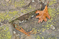 Oak leaf, lichens and white pine needles (Pinus strobi) at Hatchery Falls in autumn, Near Rosseau, Ontario, Canada