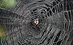 This is the Arboreal Orbweaver (Neoscona crucifera Lucas) a common midwest webspinning spider.  Here, the spider waits in the center of the web, waiting for an insect to be ensnared in the web.  The spiders feel the tiny vibrations of a struggling insect and know when its time to eat.  Their webs have the classic spoked and rounded shape, usually placed between bushes or trees to catch small flying insects.  This web was about three feet in diameter, and was about nine feet above the ground, in the photographer's back yard suspended between two trees.  There are many varieties of spiders that spin webs, both the orb-type and others which seem to be just a tangled mess of spider silk.  Some of the strands are for support, and are not sticky, while those in the center of the web are sticky to trap insects.