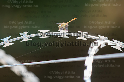 Dragonfly sits on a NATO barbed wire fence built to stop illegal migrants entering on the green border between Serbia and Hungary near Asotthalom (about 190 km South of capital city Budapest), Hungary on August 13, 2015. ATTILA VOLGYI