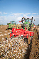 Harvesting Nectar potatoes direct into boxes - Lincolnshire, October