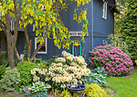 Vashon Island, Washington:<br /> Spring garden with blooming golden chain tree and rhododendron
