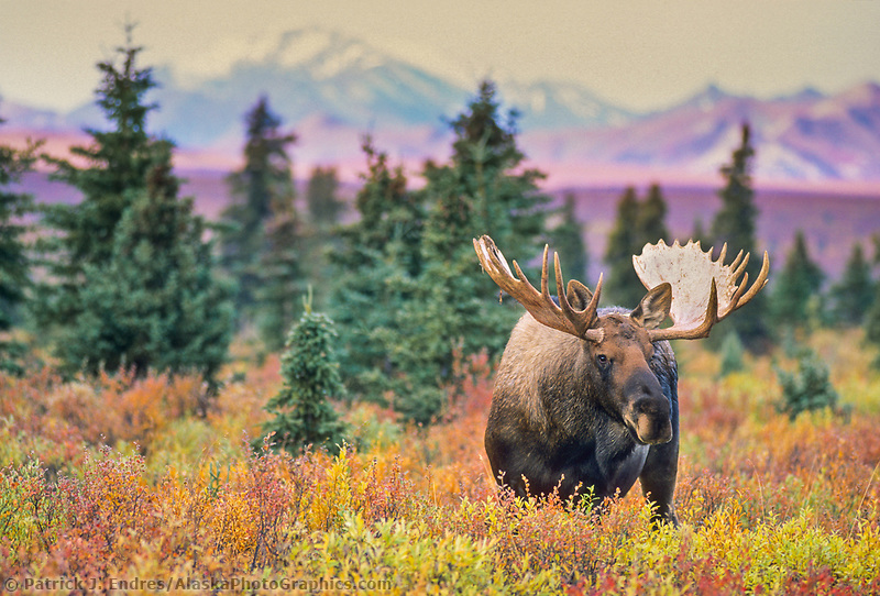 Bull moose in the autumn boreal forest and tundra of Denali National Park, Alaska.