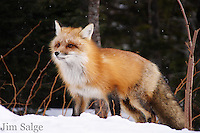 A red fox emerges from the woods at Carter Notch Hut in New Hamsphire's White Mountains