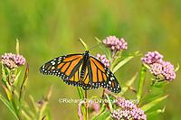 03536-05413 Monarch Butterfly (Danus plexippus) on Swamp Milkweed (Asclepias incarnata), Marion Co., IL