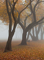 Beeds Lake State Park, Franklin County, Iowa<br /> Gracefully curved trunks of fall colored trees in fog