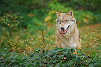 Grey Wolf (Canis lupus), adult captive, Bavarian Forest, Bavaria, Germany