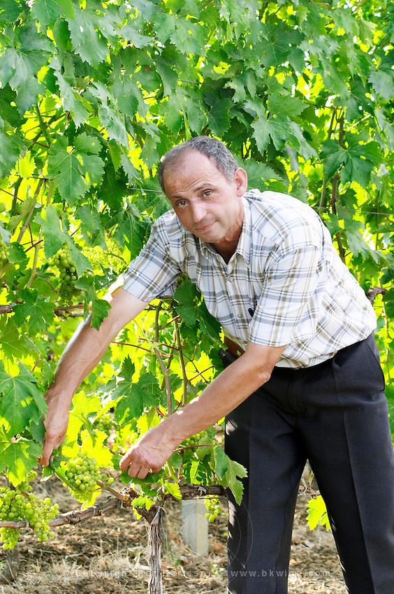 Luigj Frangaj, president of the nursery. In the vineyard. Showing details of grape bunch. Fidal vine nursery and winery, Zejmen, Lezhe. Albania, Balkan, Europe.
