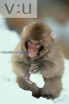 A Snow Monkey also known as Japanese Macaque. ,Macaca fuscata, Alps by Nagano, Japan
