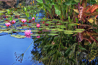 A beautiful pond reflection with lily pads and flowers at the Royal Botanical Gardens in Hamilton / Burlington.